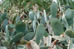 Fondo delle spine dorsali del cactus in giardino botanico fotografia stock