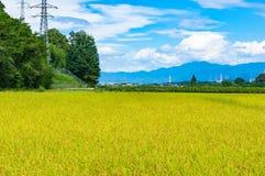 Fondo di agricoltura del giacimento del riso Campagna matura del raccolto del riso Immagine Stock