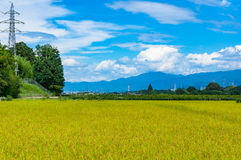 Fondo di agricoltura del giacimento del riso Campagna matura del raccolto del riso Immagini Stock Libere da Diritti