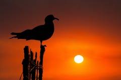 Fondo di alba di tramonto dell'uccello del gabbiano Fotografia Stock