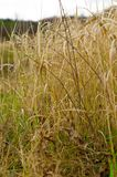 Fondo di alta erba asciutta Immagine Stock Libera da Diritti