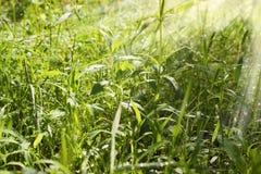 Fondo di alta erba sull'alba Fotografia Stock Libera da Diritti