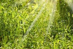 Fondo di alta erba sull'alba Immagini Stock Libere da Diritti