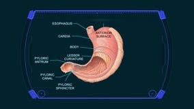 Fondo di animazione dei grafici dello stomaco del diagramma di anatomia illustrazione di stock