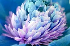 Fondo di Aqua Blue Color Peony Flower immagine stock libera da diritti
