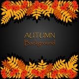 Fondo di autunno con la sorba Immagini Stock