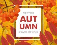 Fondo di autunno con la sorba, le bacche e le foglie Caduta della pagina La VE Fotografia Stock