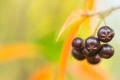 Fondo di autunno con le bacche immagini stock