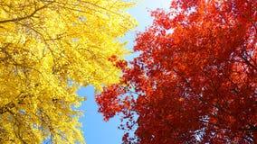 Fondo di autunno con le foglie di gingo e dell'acero Fotografia Stock Libera da Diritti