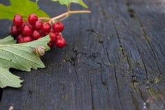 Fondo di autunno con tavolato e le bacche del viburno Immagine Stock Libera da Diritti