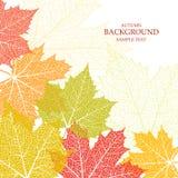 Fondo di autunno e foglie di un acero Fotografia Stock