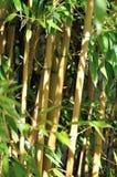 Fondo di bambù Fotografia Stock