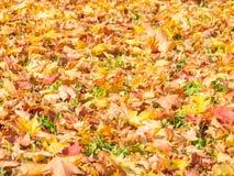 Fondo di belle foglie di acero di autunno Fotografia Stock Libera da Diritti