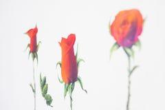 Fondo di bianco del biglietto di S. Valentino di amore delle rose rosse Immagini Stock