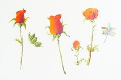 Fondo di bianco del biglietto di S. Valentino di amore delle rose rosse Fotografia Stock Libera da Diritti