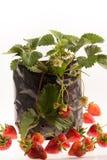 Fondo di bianco della pianta di fragola Fotografia Stock