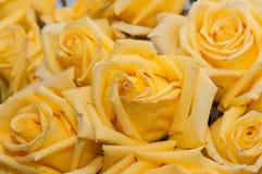 Fondo di bianco della rosa di giallo Fotografia Stock Libera da Diritti