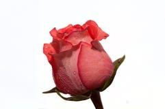 Fondo di bianco della rosa di rosa Fotografia Stock Libera da Diritti