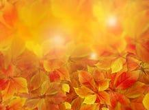 Fondo di caduta Le foglie di autunno rosse ed arancio variopinte sul pavimento della foresta con il sole rays la venuta attravers fotografia stock libera da diritti