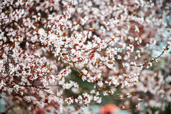 Fondo di Cherry Blossom With Beautiful Nature o di Sakura Flower Immagini Stock Libere da Diritti