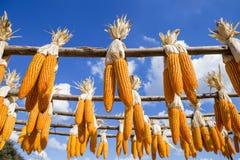 Fondo di concetto di industria di agricoltura di mais asciutto che appende fuori Fotografia Stock