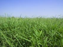 Fondo di erba e di cielo blu fertili una fotografie stock libere da diritti
