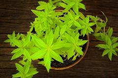 Fondo di erbe di buio della pianta della verbena del limone Fotografia Stock Libera da Diritti