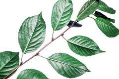 Fondo di estate con le foglie verdi dei rami isolate su bianco Mazzo fresco Botanica immagine stock