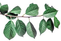 Fondo di estate con le foglie verdi dei rami isolate su bianco Mazzo fresco Botanica fotografia stock libera da diritti