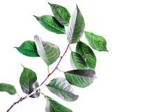 Fondo di estate con le foglie verdi dei rami isolate su bianco Mazzo fresco Botanica immagine stock libera da diritti