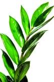 Fondo di estate con le foglie verdi dei rami isolate su bianco Mazzo fresco Botanica fotografia stock