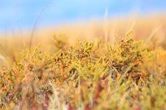 Fondo di estate con Salicornia Immagini Stock Libere da Diritti