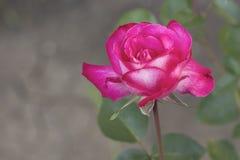 Fondo di estate della rosa di rosa e di bianco Immagini Stock Libere da Diritti