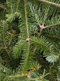 Fondo di festa dei rami dell'abete di douglas della pianta Aghi in primo piano fotografia stock libera da diritti