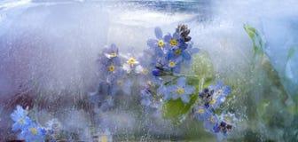 Fondo di   fiore del nontiscordardime congelato in ghiaccio Fotografie Stock