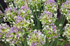 Fondo di fioritura dell'allium Immagine Stock Libera da Diritti