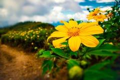 Fondo di fioritura della natura di scena dei fiori messicani Fotografie Stock