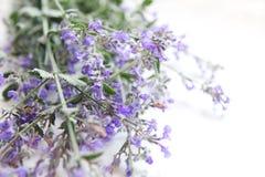 Fondo di fioritura di bianco dell'erba della menta Fotografia Stock