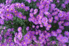 Fondo di fioritura di fioritura Violet And Green dei fiori fotografie stock libere da diritti