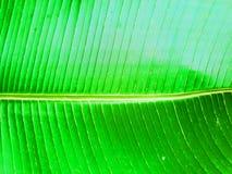 Fondo di foglia di palma della banana tropicale Struttura esotica delle foglie Grande fogliame brillante della palma fotografia stock
