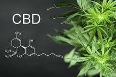 Fondo di formula chimica del CBN il bello della cannabis verde fiorisce il posto di A per lo spazio della copia fotografie stock libere da diritti