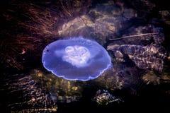 Fondo di galleggiamento d'ardore della superficie dell'acqua delle meduse blu Immagine Stock