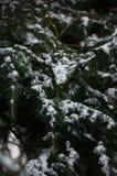 Fondo di inverno con i rami innevati dei clos attillati blu Fotografia Stock Libera da Diritti