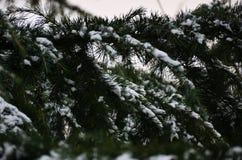 Fondo di inverno con i rami innevati dei clos attillati blu Immagine Stock Libera da Diritti