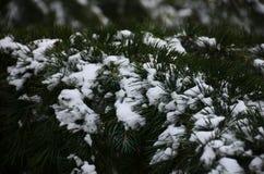 Fondo di inverno con i rami innevati dei clos attillati blu Immagine Stock