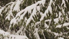 Fondo di inverno con i rami nevosi dell'abete video d archivio