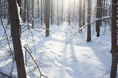 Fondo di inverno della foresta nevosa Immagini Stock