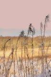 Fondo di inverno di erba gelida al tramonto Fotografie Stock