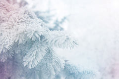 Fondo di inverno - ramo gelido bianco dell'abete Fotografie Stock