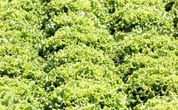 Fondo di lattuga verde Fotografie Stock Libere da Diritti